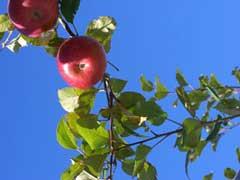 apple22.jpg