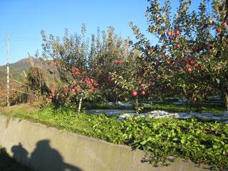 apple9.jpg